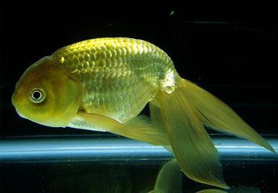 金魚の種類 らんちゅう 津軽錦