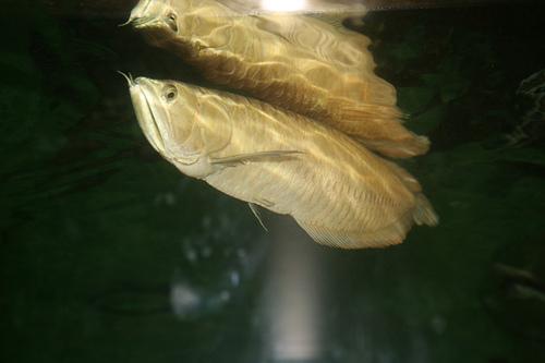 シルバーアロワナの画像