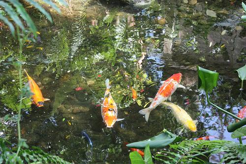紅白が泳ぐ池の画像