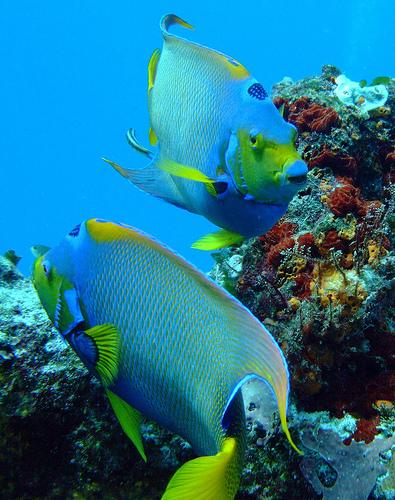 クイーンエンゼルフィッシュの成魚2匹の画像