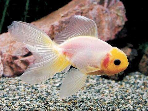 金魚の種類 らんちゅう 関東東錦シルク池上げ