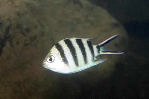 ロクセンスズメダイ幼魚の画像