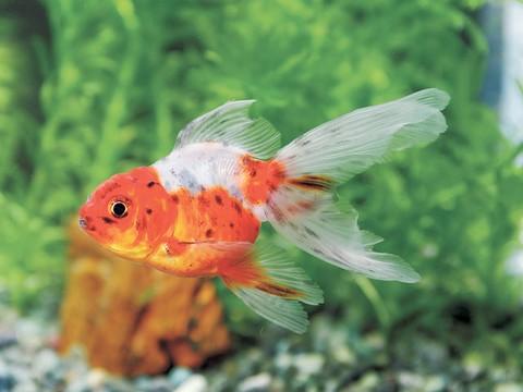 金魚の種類 らんちゅう 関西東錦