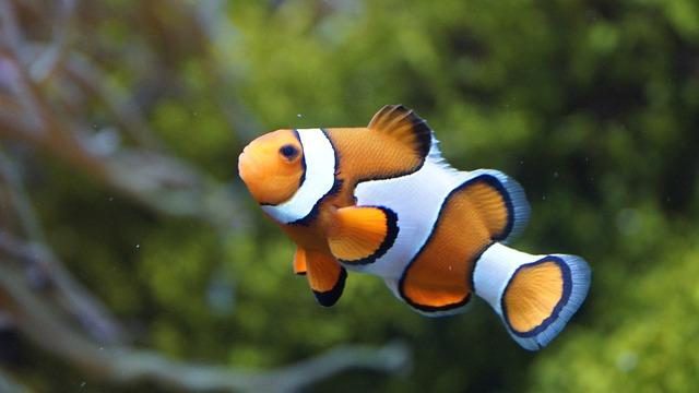 ニモとマーリンの魚 カクレクマノミ