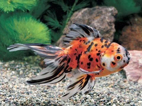 金魚の種類 らんちゅう 東錦の画像