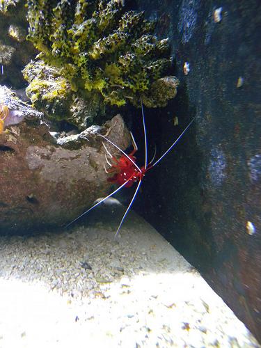 エビ(海老)の種類 シロボシアカモエビ