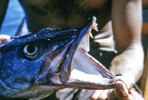 オニカマスの歯 写真画像