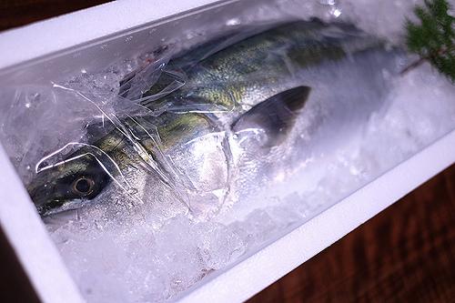 魚(サバ,サンマ,アジ)の切り身で釣れる魚 ブリの画像