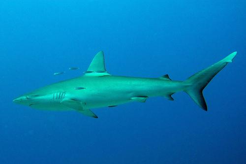 ガラパゴスザメの写真画像