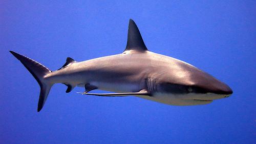 サメの種類 オグロメジロザメの画像