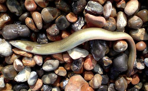 食用魚の種類 ウナギの画像