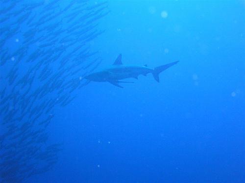 サメの種類 ヨゴレの画像