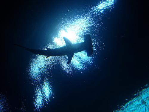 ヒラシュモクザメの画像