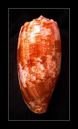 釣り毒 アンボイナガイの写真画像