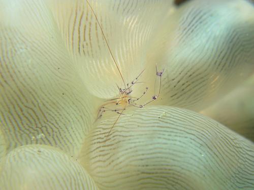 バブルコーラルシュリンプの写真画像