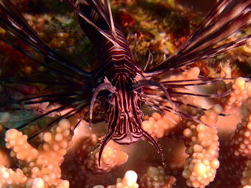 カサゴの種類 黒いハナミノカサゴの写真画像