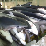 ヨシキリザメ 人喰いサメ