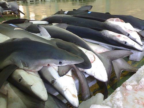 人喰いザメ ヨシキリザメの写真