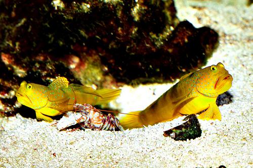 エビ(海老)の種類 テッポウエビ