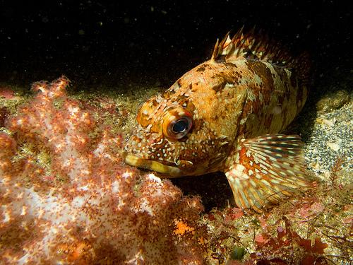 タイラバで釣れる魚 カサゴの画像