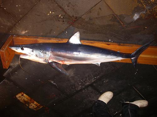 チャムの魚 アオザメの写真画像