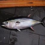 出世魚の種類 マグロの画像