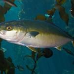 出世魚の種類 ヒラマサ