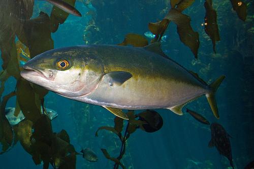 青魚の種類 ヒラマサ(平政・平鰤)の写真画像
