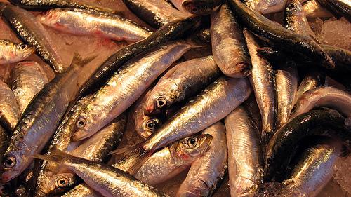 青魚の種類 タイセイヨウニシンの写真画像