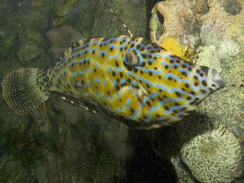防波堤釣り毒魚 ソウシハギの写真画像