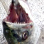サワラの歯の画像