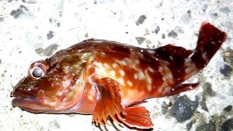 ジグサビキ 釣れる魚 カサゴ(ガシラ)の画像