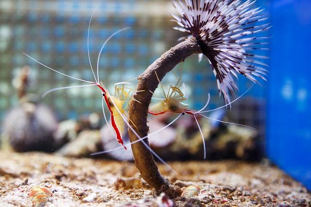 エビ(海老)の種類 アカスジモエビの画像