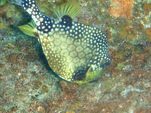 防波堤釣り毒魚 ハコフグの写真画像