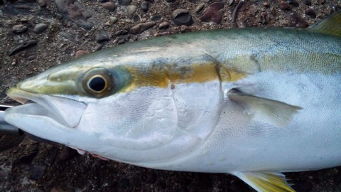 イカの切り身(イカ短)で釣れる魚 ブリの画像