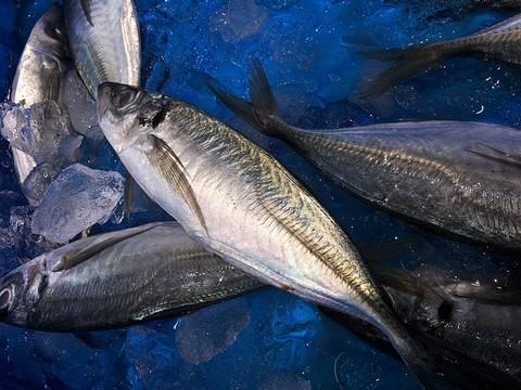 ジグサビキ 釣れる魚 アジ