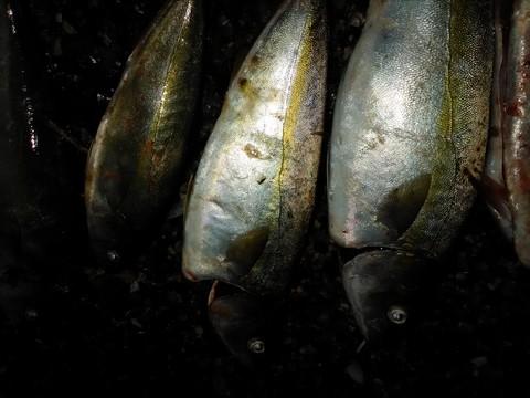 青魚 ブリ(ハマチ)の画像