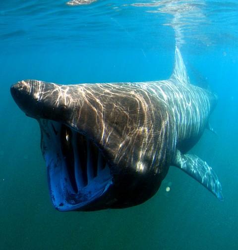ウバザメの画像