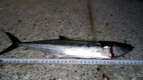魚へんに春という漢字 鰆(サワラ)の若魚サゴシの画像