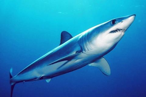 アオザメ(青鮫)の画像
