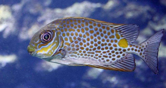 冬に釣れる魚の種類 アイゴの画像