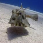 幼魚はまさにU・F・O!ラクダハコフグ
