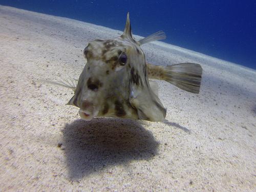 ラクダハコフグの成魚 正面からの画像