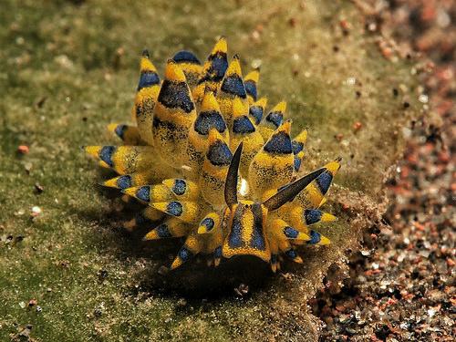 アオモウミウシの写真画像
