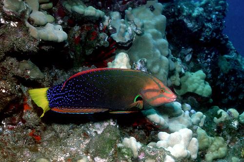 ツユベラ成魚の画像