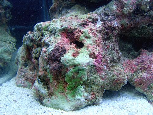 石灰藻が付いているライブロック