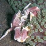 イソギンチャクと共生するエビ(海老)の種類