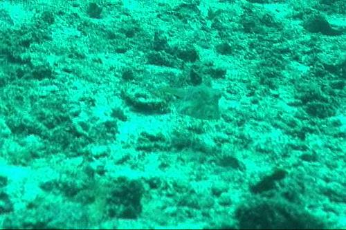 シマウミスズメの写真画像