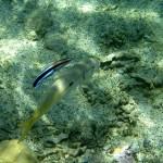 小型ベラ(ホンソメワケベラ)の混泳