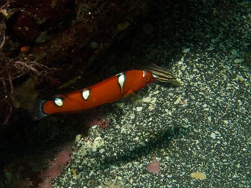 ツユベラ幼魚の画像